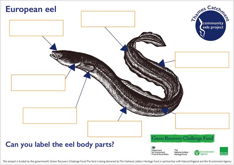 European Eel Anatomy