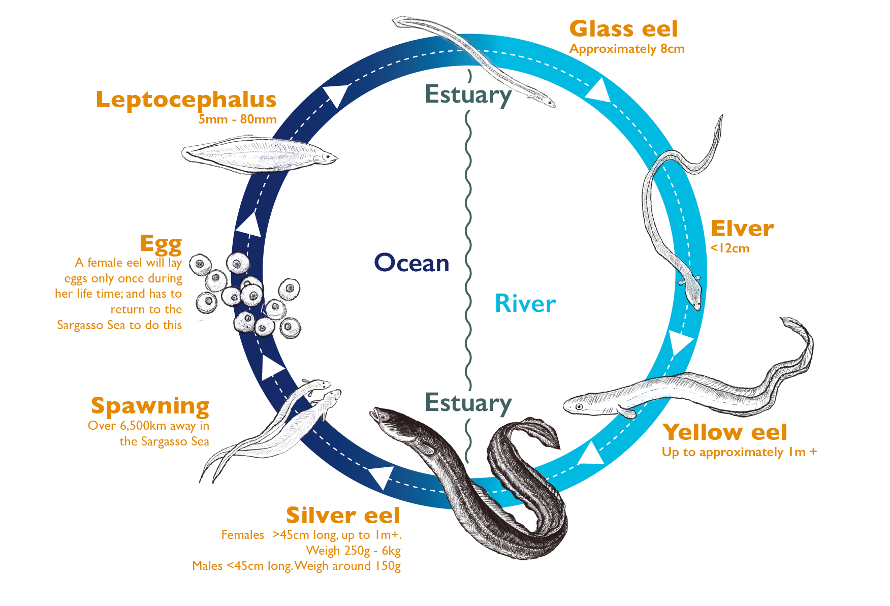 The Life Cycle of an European Eel